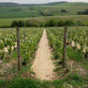 vigne paillage miscanthus