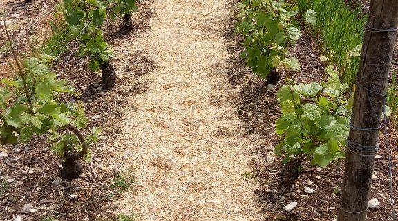 vigne miscanthus
